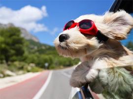 dogwindowcar.jpg