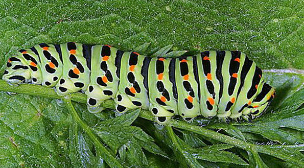 machaon chenille.jpg